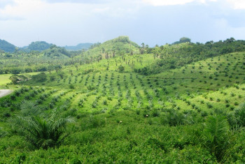 Large scale oil palm plantations in Iraray, Municipality of Sofronio Espanola