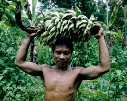 During the food shortage season, boiled bananas represent a substitute for rice and cassava