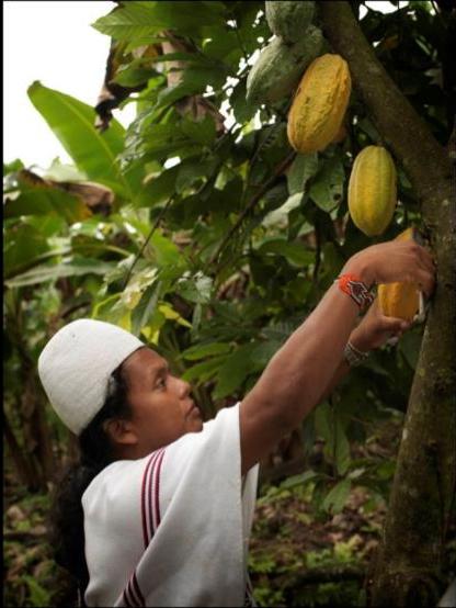Preservar las variedades de cacao en Colombia