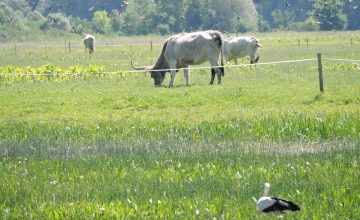 Birds and podolian cattle on Gajna (c) BED