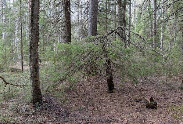 Third ICCA Site Established in Finland: Goldcrest Forest